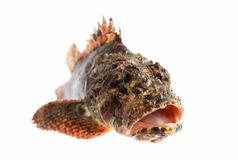 Head of Stone perch Royalty Free Stock Photos