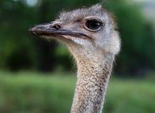 Head Struthio camelus Stock Images