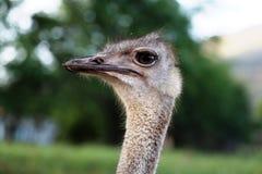 Head Struthio camelus profile Royalty Free Stock Photography