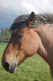 Head studbook belgian  horse Stock Photos