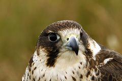 Head Study of a hybrid Peregrine/Saker Falcon. Royalty Free Stock Image