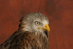Head Study of a Red Kite Royalty Free Stock Photography