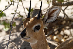 Head Study of a Steenbok Antelope Royalty Free Stock Photo