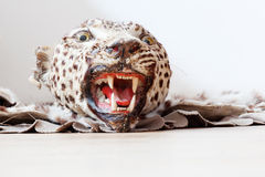 Head of a stuffed jaguar Stock Photos