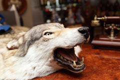 Head of stuffed wolf Royalty Free Stock Photography