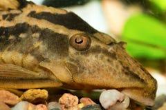 Head of suckermouthfish Royalty Free Stock Photos