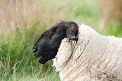 Head of Suffolk sheep Stock Photo