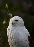 Head in the sun. A photo of a snow owl stock image