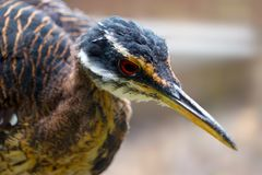 Head of a sunbittern bird with a long pointed beak Royalty Free Stock Photography