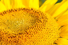 Head of Sunflower Stock Photography