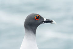 Head of swallow-tailed Gull on the Galapagos Islands Stock Photography