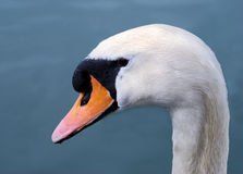 Head swan Royalty Free Stock Photos