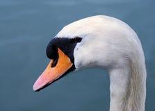 Free Head Swan Royalty Free Stock Photos - 13758598