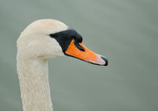 head swan royaltyfria foton