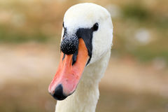 Head of swan Stock Photo