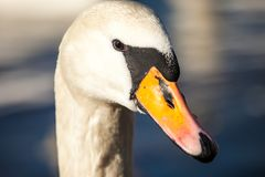 Head of swan, in winter time, Poland. Royalty Free Stock Photo