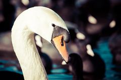 Head of swan, in winter time, Poland. Stock Photo