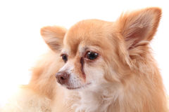 Head of sweet chihuahua Royalty Free Stock Images