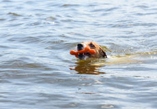 Head of swimming dog fetching toy bone from water Stock Image