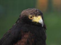 Hök - fågel av rovet Fotografering för Bildbyråer