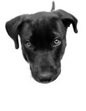 Head & Tail. Black Labrador Retriever puppy looking up at camera, with only the dog's head & tail visible Royalty Free Stock Photography