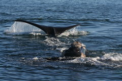Head and Tail. 3 Southern right whales in a mating orgy,Hermanus,South Africa Royalty Free Stock Photography