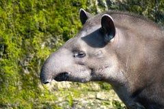 Head of Tapir Royalty Free Stock Photo