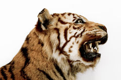 Head of Taxidermied Bengal Tiger Stock Photography