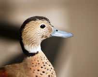 Head of teal Royalty Free Stock Photography