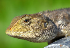 Head of Thailand lizard Stock Image