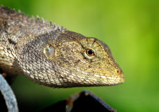 Head of Thailand lizard Royalty Free Stock Photo