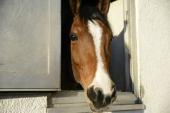 Head of a thoroughbred brown-white horse looks out the window of. The stables Stock Images