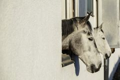 Head of a thoroughbred gray white horse looks out the window of. The stables Stock Photo