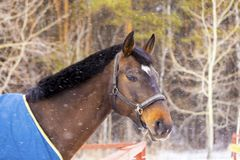 Head of a thoroughbred horse. In the frame and snow Royalty Free Stock Photo