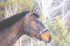 Head of a thoroughbred horse. In the frame and snow Stock Image