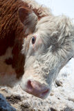 A head of thoughtful cow Stock Photography