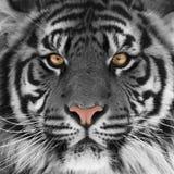 head tiger arkivfoton