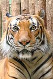 Head of tiger Stock Photography