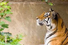 head tiger Royaltyfria Bilder