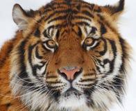 head tiger Royaltyfria Foton