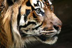 Head of the tiger Royalty Free Stock Images