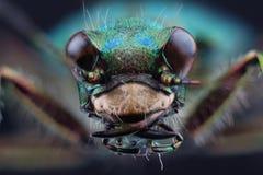 Head of tiger beetle (Cicindella campestris) Royalty Free Stock Photo