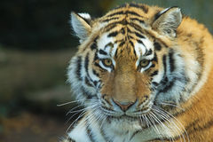 Head of a Tiger. Close up view of tiger head. Horizontally Royalty Free Stock Images