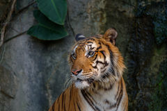 Head of tiger. Royalty Free Stock Photo