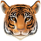 A head of a tiger. Illustration of a head of a tiger on a white background Royalty Free Stock Images