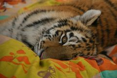 Head of tiger royalty free stock images