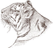 Head of a tiger Royalty Free Stock Photo