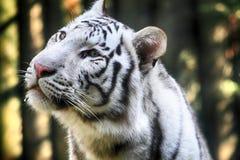 head tigerwhite Arkivfoton