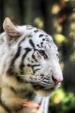 head tigerwhite Arkivbilder