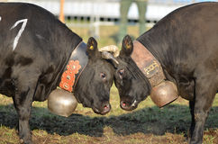 Head to Head. Two cows go head to head in a cow fight. A competition to establish the dominant cow to lead the herd to summer pastures Royalty Free Stock Image